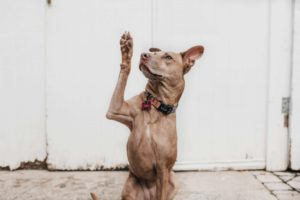 Dog holding its paw in the air